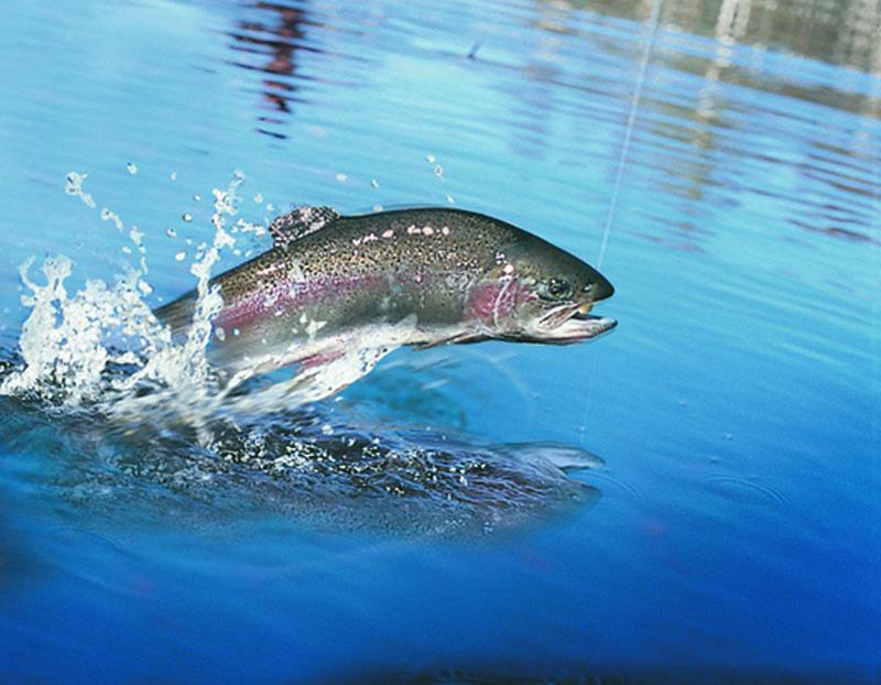 FISSTA Salmon